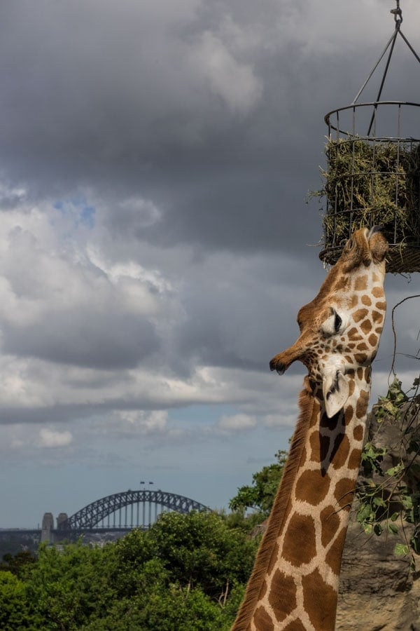 The giraffe's at Sydney zoo have a multi million dollar city view