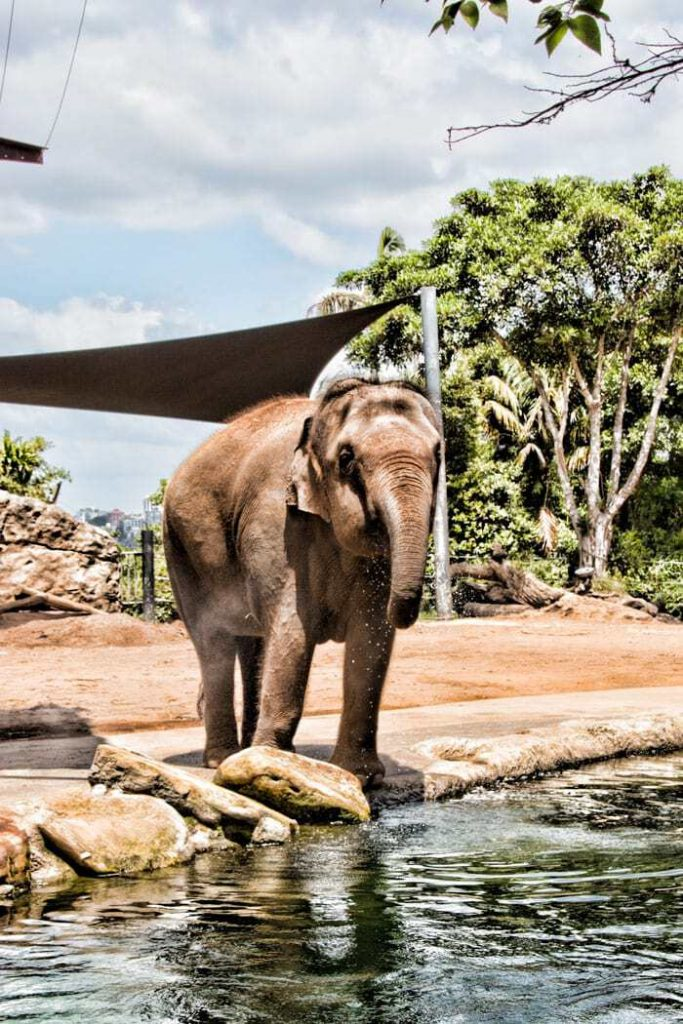 One of the Asian elephants at the Taronga Zoo in Sydney