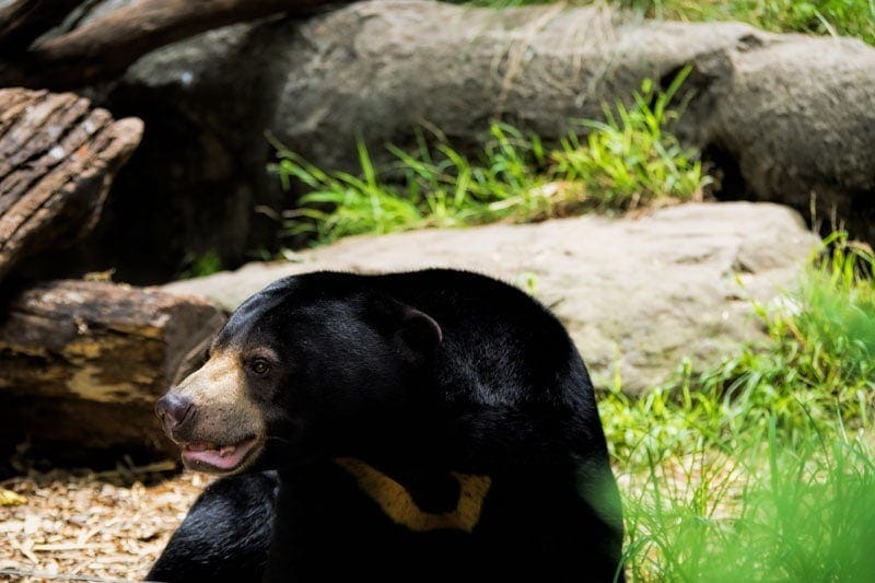 Mary the femal sun bear at Taronga Zoo in Sydney