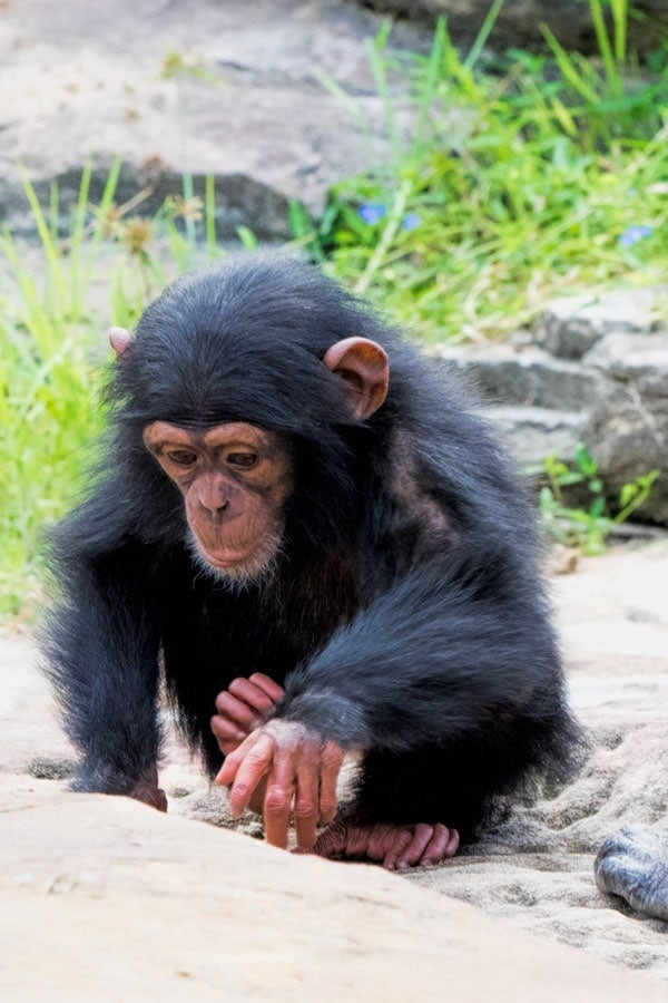 A baby chimp at Taronga Zoo in Sydney