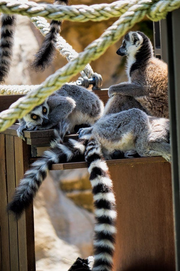 The lemur exhibit at Taronga Zoo in Sydney is excellent