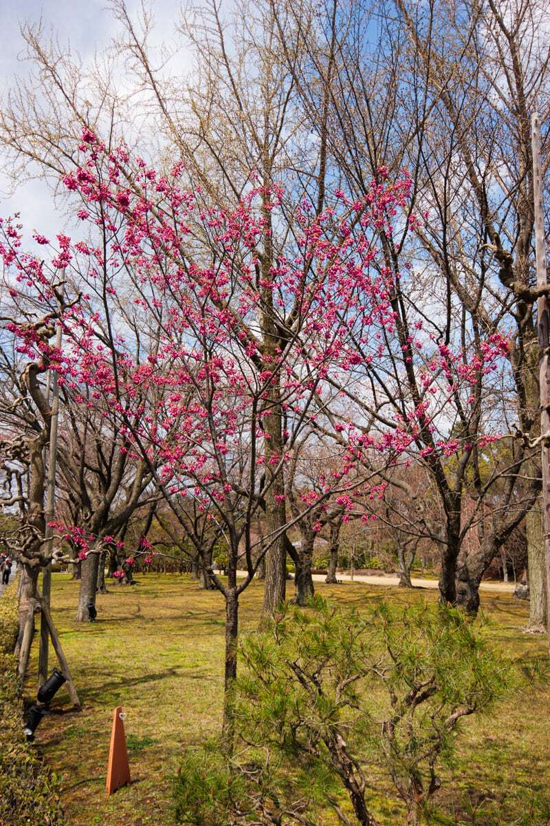 Nijo castle in Kyoto Japan - the blossom groves
