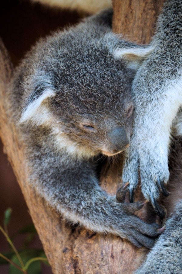 Baby koala at Lone Pine Koala Sanctuary