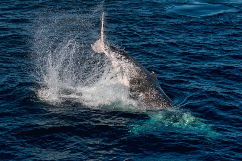 Full breach by a humpback whale in Morton Bay