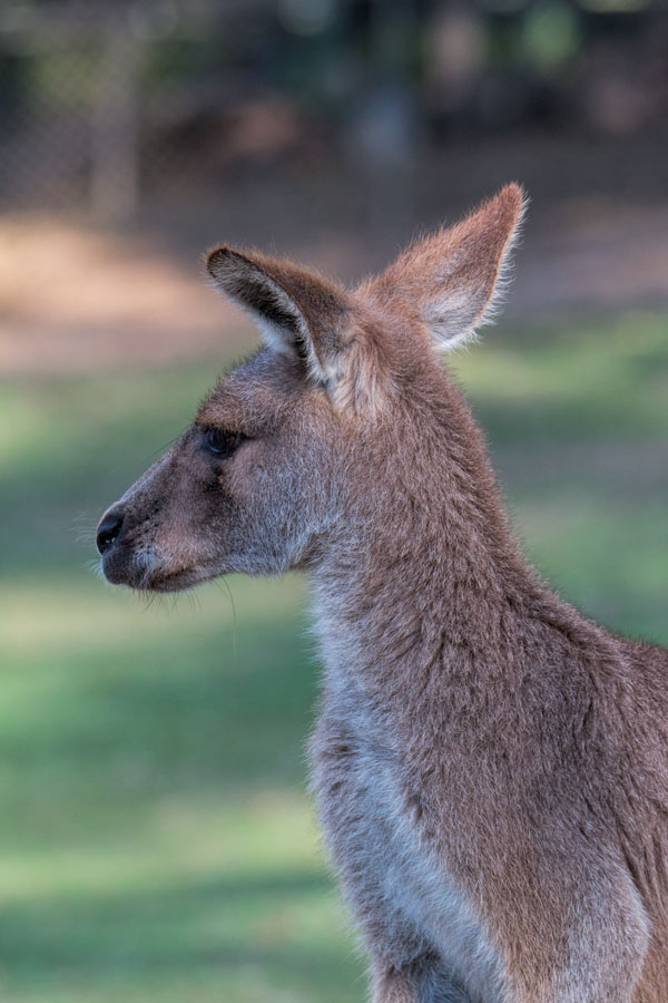 Kangaroos at Lone Pine Koala Sanctuary