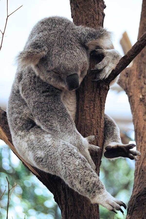 Sleeping koala at Lone Pine Koala Sanctuary