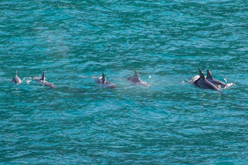 Dolphins on Tangalooma whale watching off Morton Island