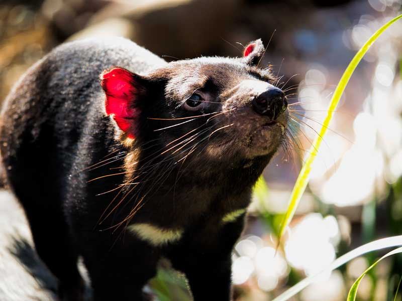Tasmanian Devil at Lone Pine Koala Sanctuary