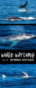 Whale watching in Brisbane, Australia