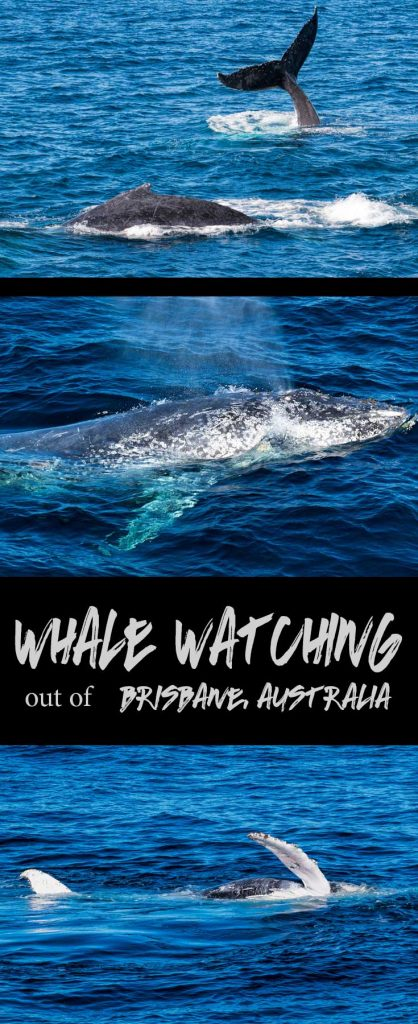 Whale watching in Brisbane, Australia