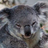 Koala at Lone Pine Koala Sanctuary