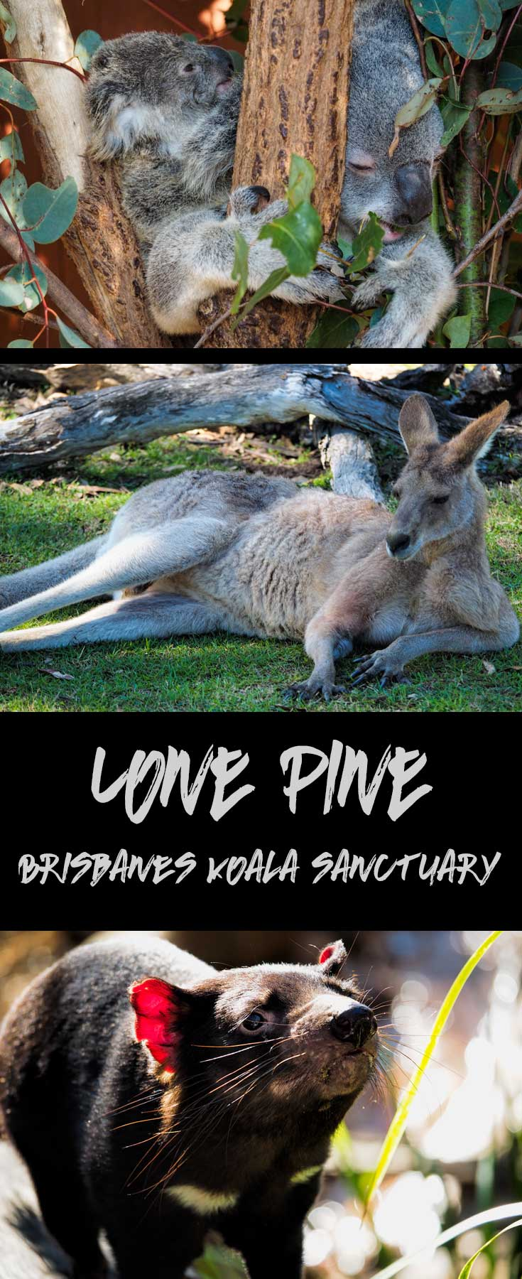 Lone Pine Koala Sanctuary is Brisbane\'s native wildlife park.  Cuddle a koala, take a selfie with a kangaroo and learn a whole lot about Australia\'s unique animals.