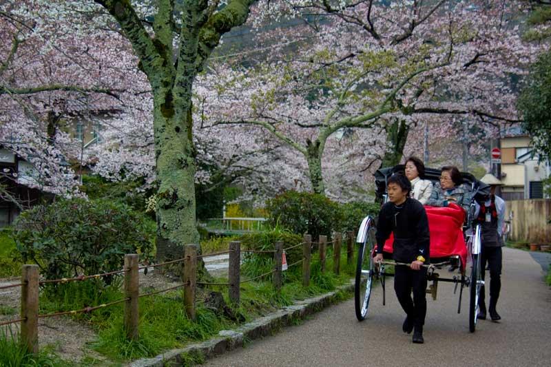 Sakura on the Philosophers Path