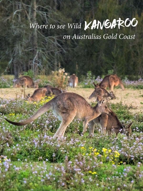 Kangaroos at Coombabah