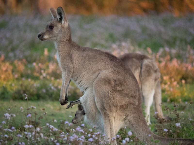 Kangaroos on the Gold Coast