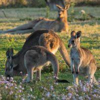 Wild kangaroos on the Gold Coast