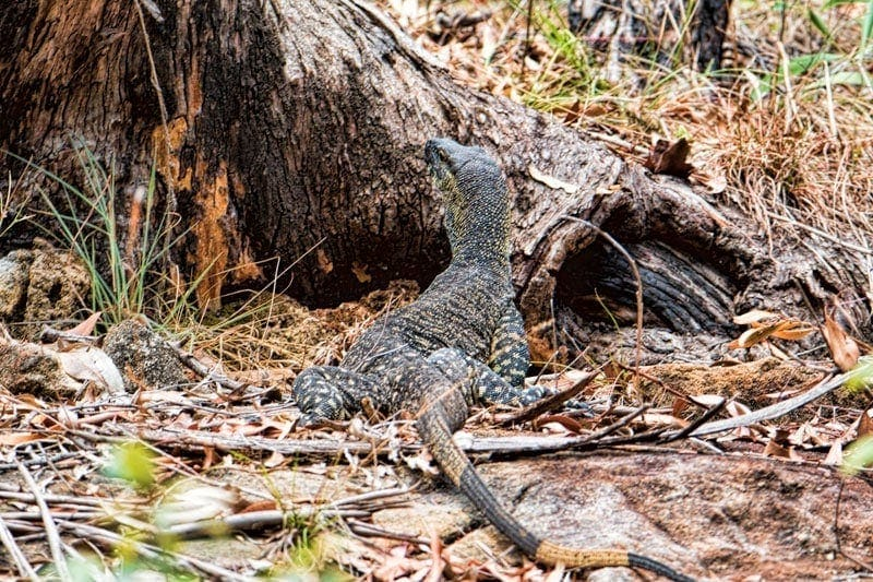 Lace Monitor at White Rock Conservation Park, Australia