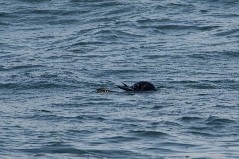A fur seal doing rollovers in the surf at Yamba