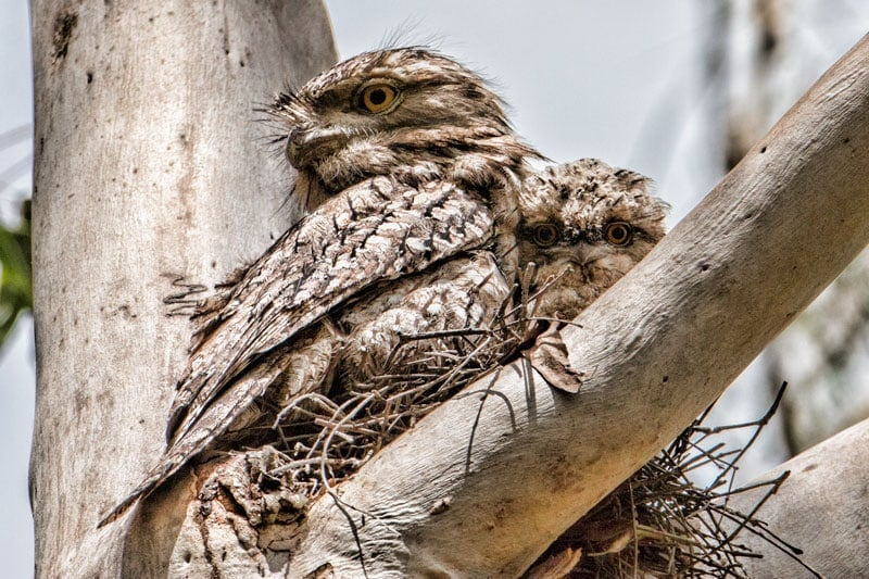 Tawny Frogmouth chick and parent