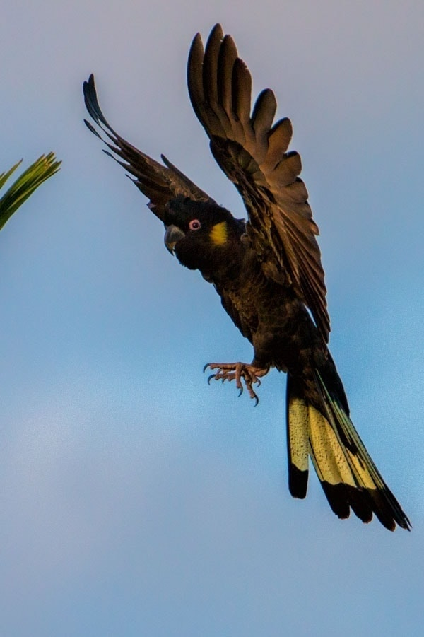 Yellow tailed black cockatoo