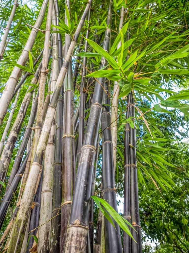 Bamboo in Ipswich Japanese garden