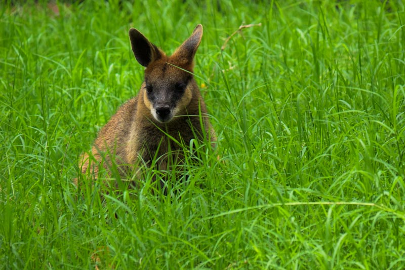 Wallaby at Ipswich Nature Centre