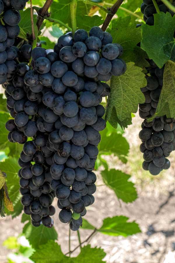 Vineyard at Canungra Valley Vineyard