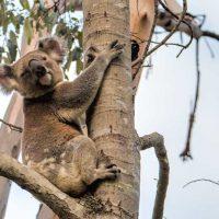 Koala at Tweeters Country Getaway
