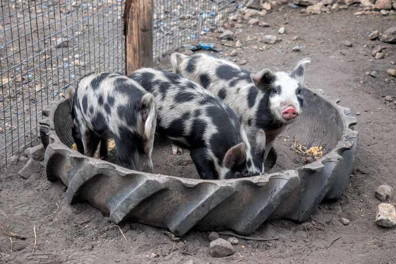 Pigs at Tweeters Country Getaway