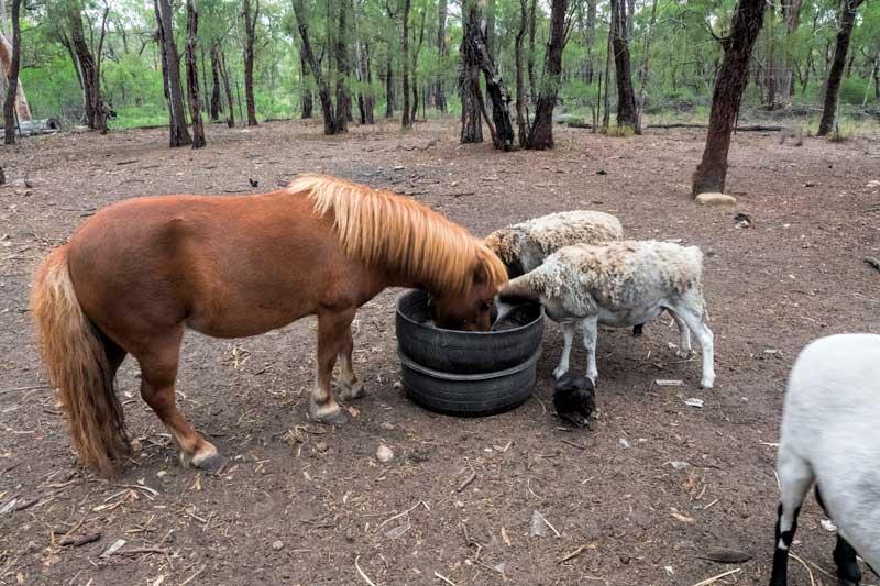 Pony & sheep at Tweeters