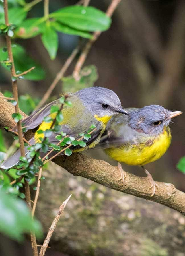 Parent and baby Eastern Yellow Robin