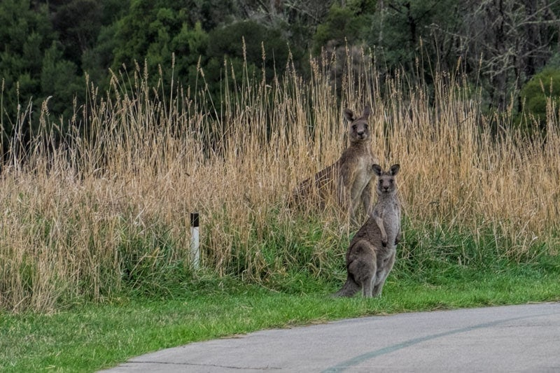 Kangaroos at Yarra Valley Lodge