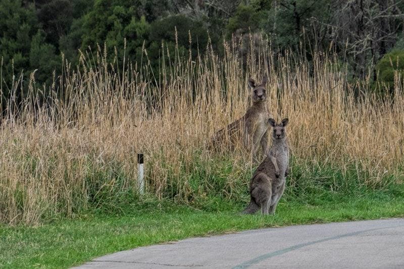 Kangaroos at Yarra Valley Lodge