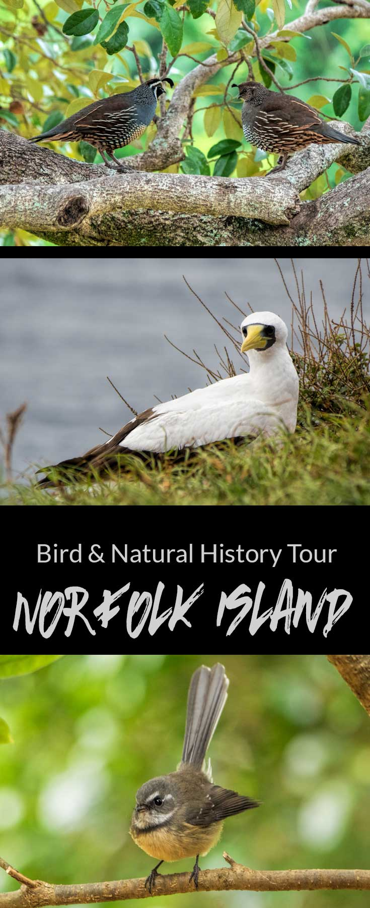 Birds and Natural History Tour, Norfolk Island, Australia