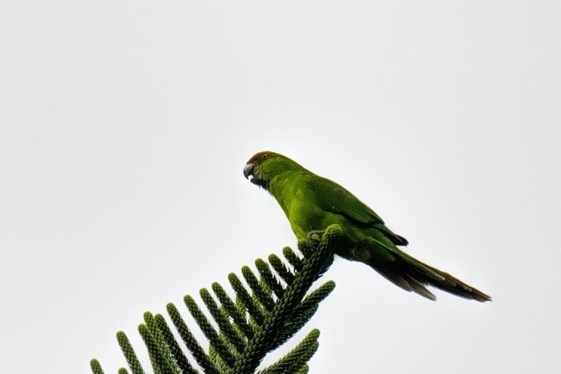 Norfolk Island Green Parrot