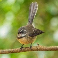 Norfolk Island Fantail