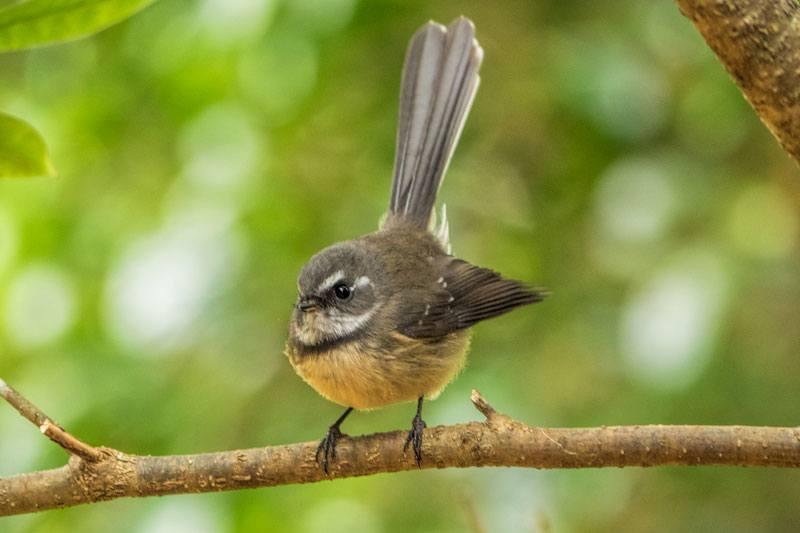 GreenEyes Norfolk Island Bird Tour