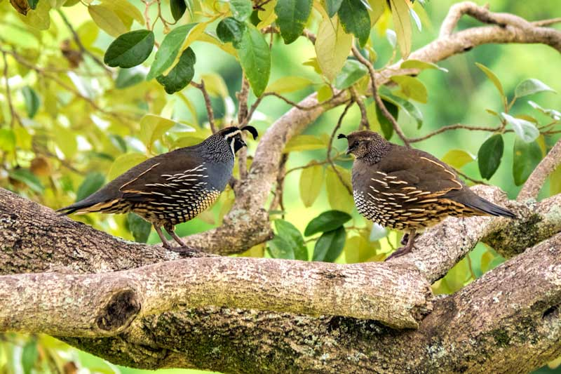 Californian Quail on Norfolk Island