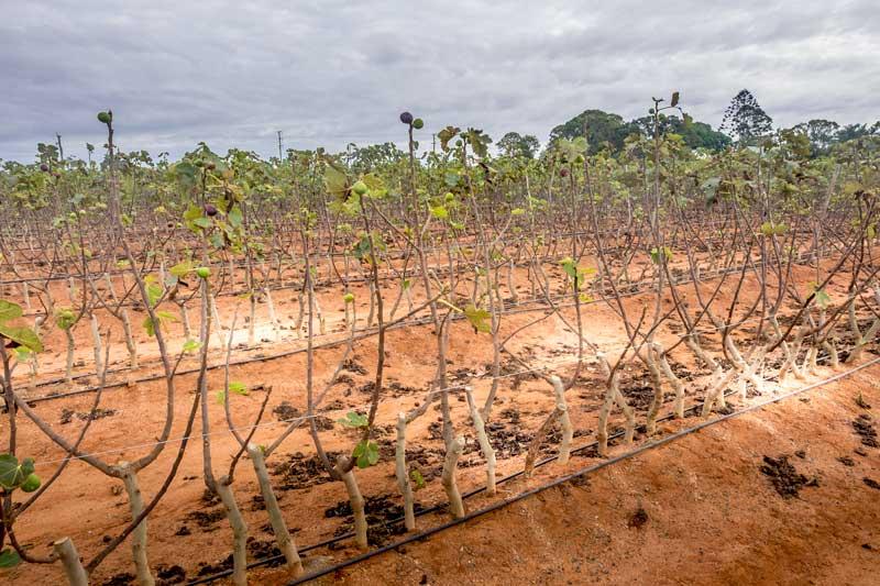 Fig farming in Bundaberg