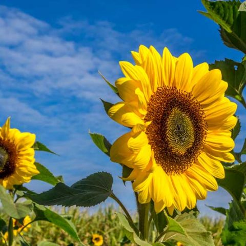 Sunflower farm in Bundaberg