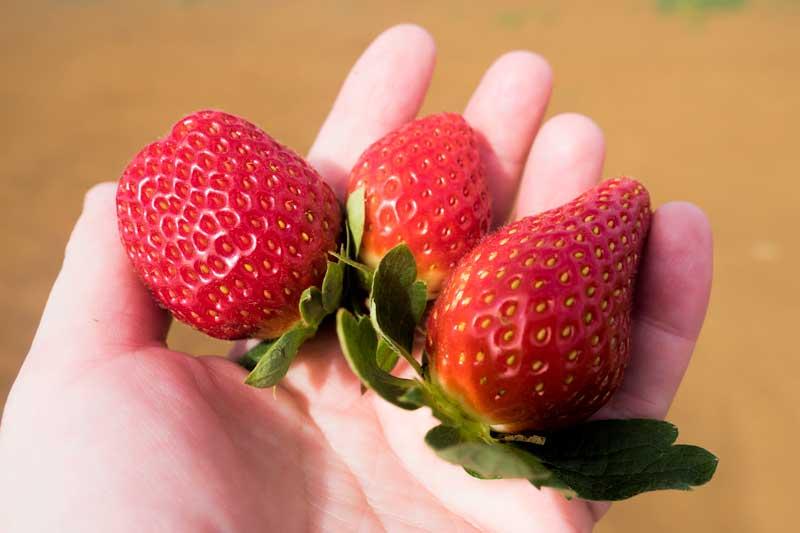 Tinaberries strawberry taste testing