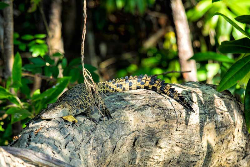Young salt water crocodile on the Daintree River