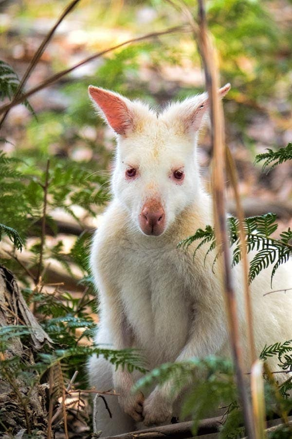 Day trip to Bruny Island - White wallaby
