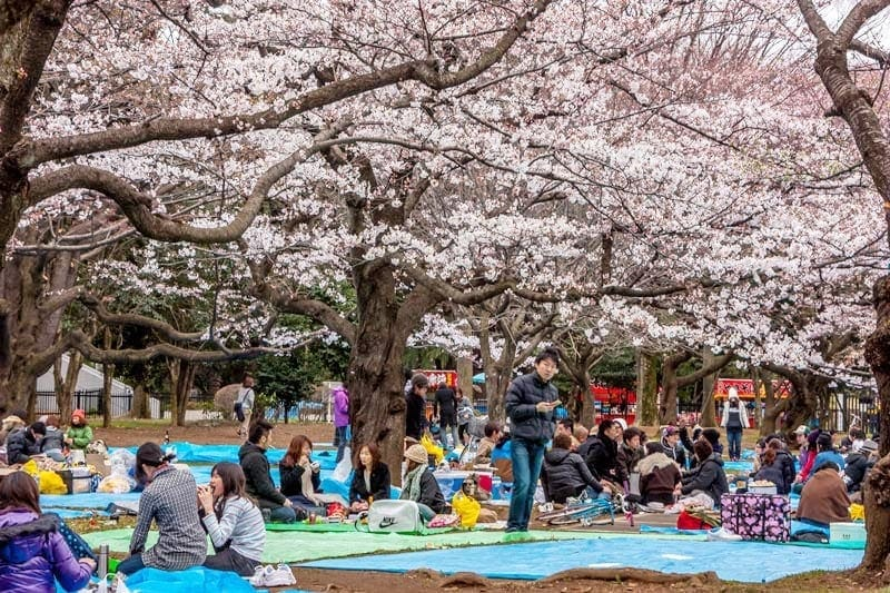 Hanami in Yoyogi Park in Tokyo