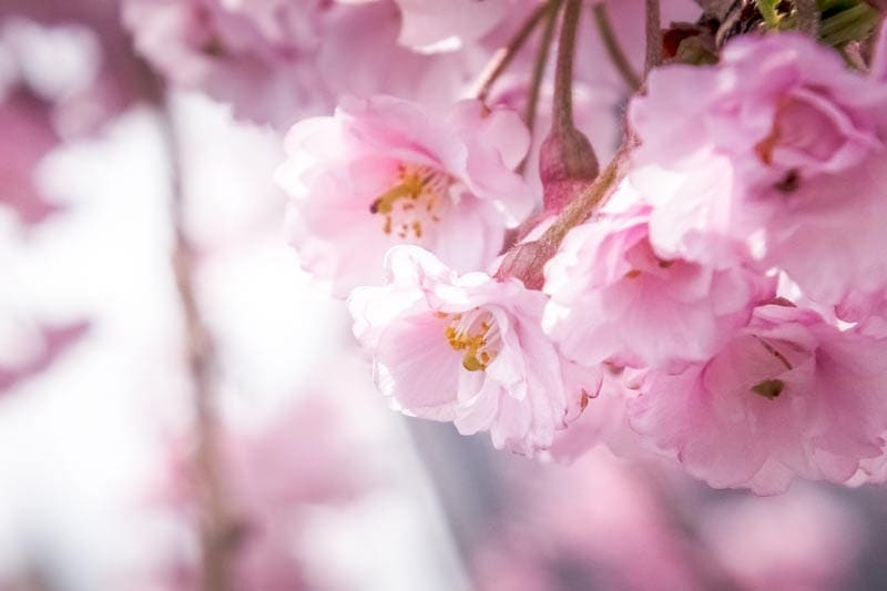 Pink cherry blossoms in Japan