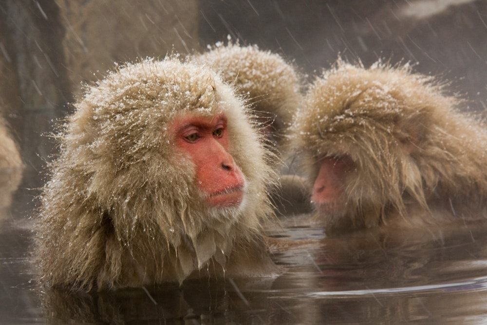 Snow monkeys in the onsen in Nagano