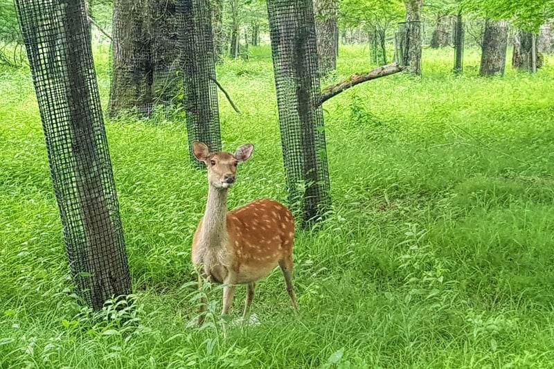Deer in Nikko National Park