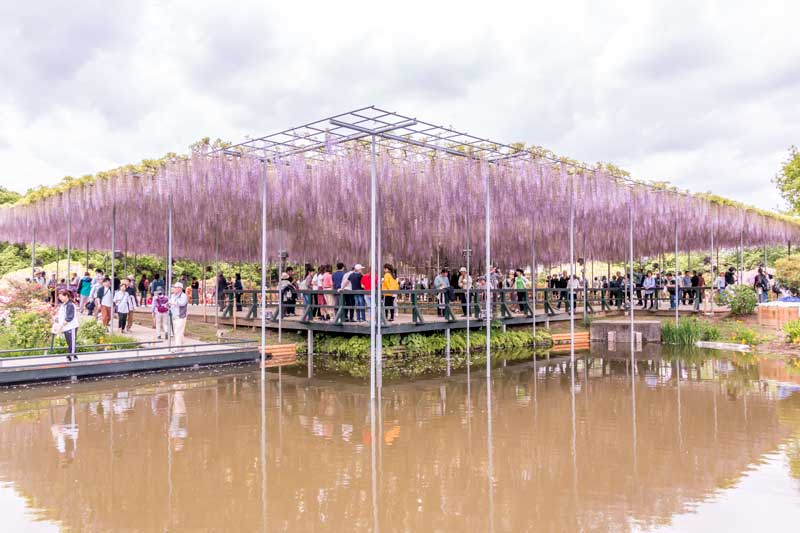 The transplanted 130 year old wisteria tree