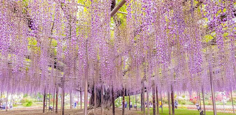 Grand wisteria