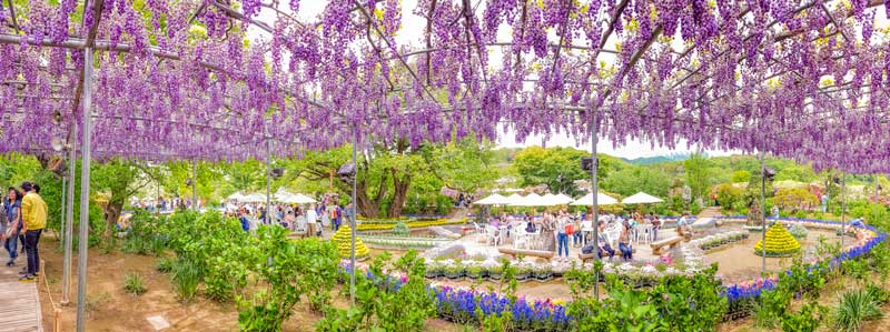 Wisteria in Ashikaga Flower Park in Japan